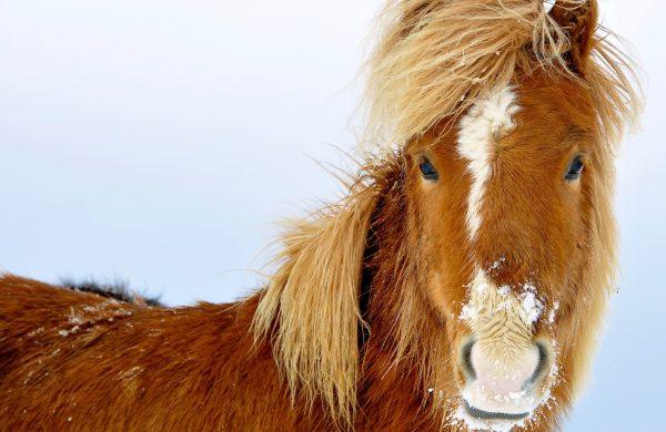 Photo d'un cheval islandais de face