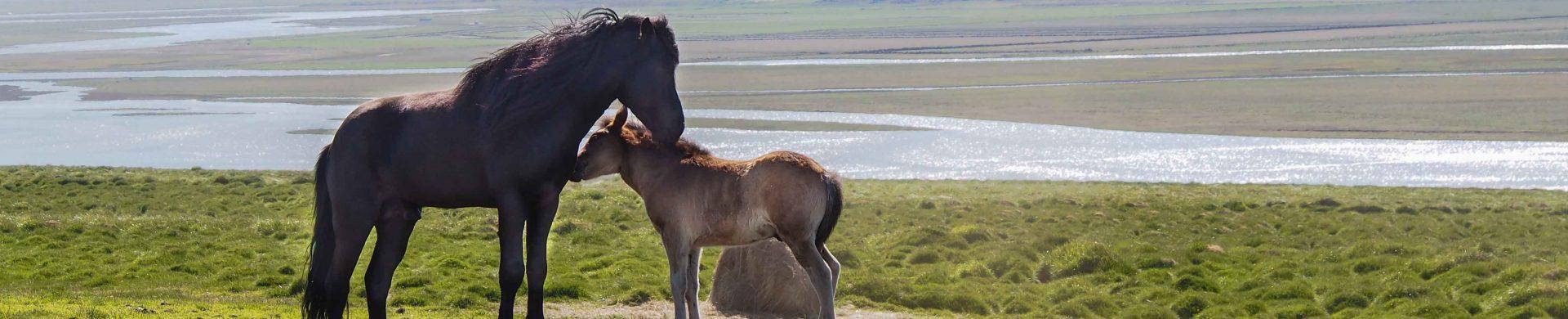 Photo de deux chevaux islande, une jument et son poulain dans la nature islandaise