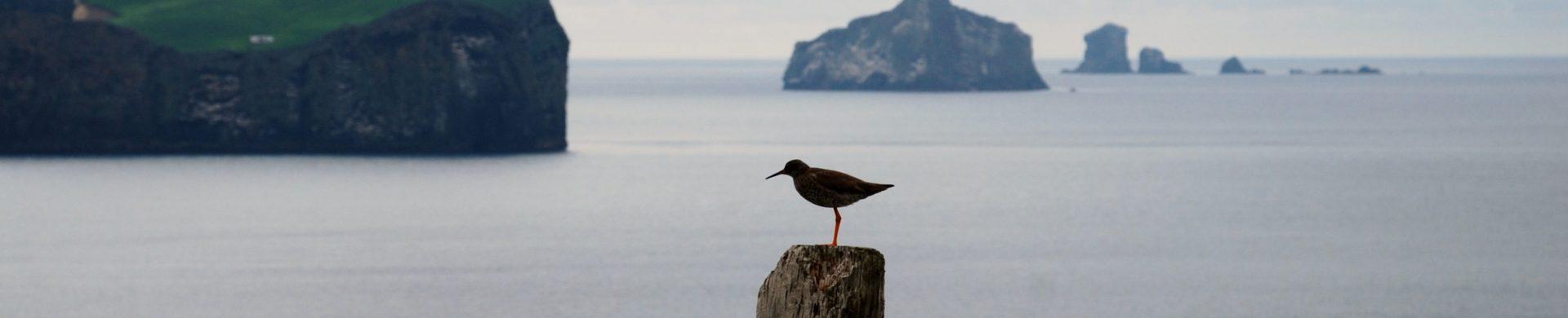 oiseau islande iles vestmann