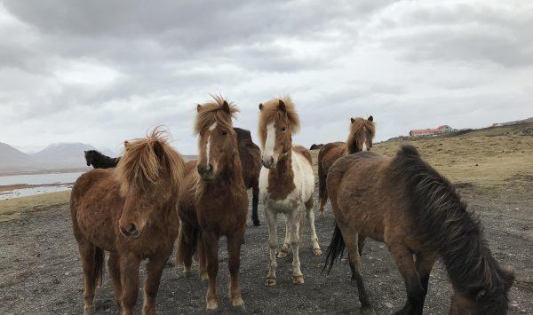 Photo d'un groupe de chevaux islandais de face