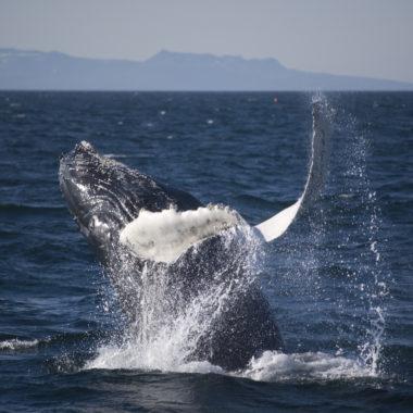 Observation d'un saut de baleine à bosse en Islande